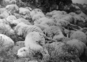Sheep and Cattle War